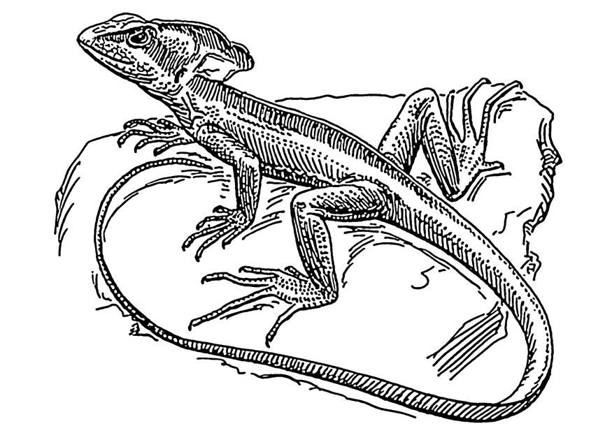lizard for coloring lizard coloring pages lizard for coloring
