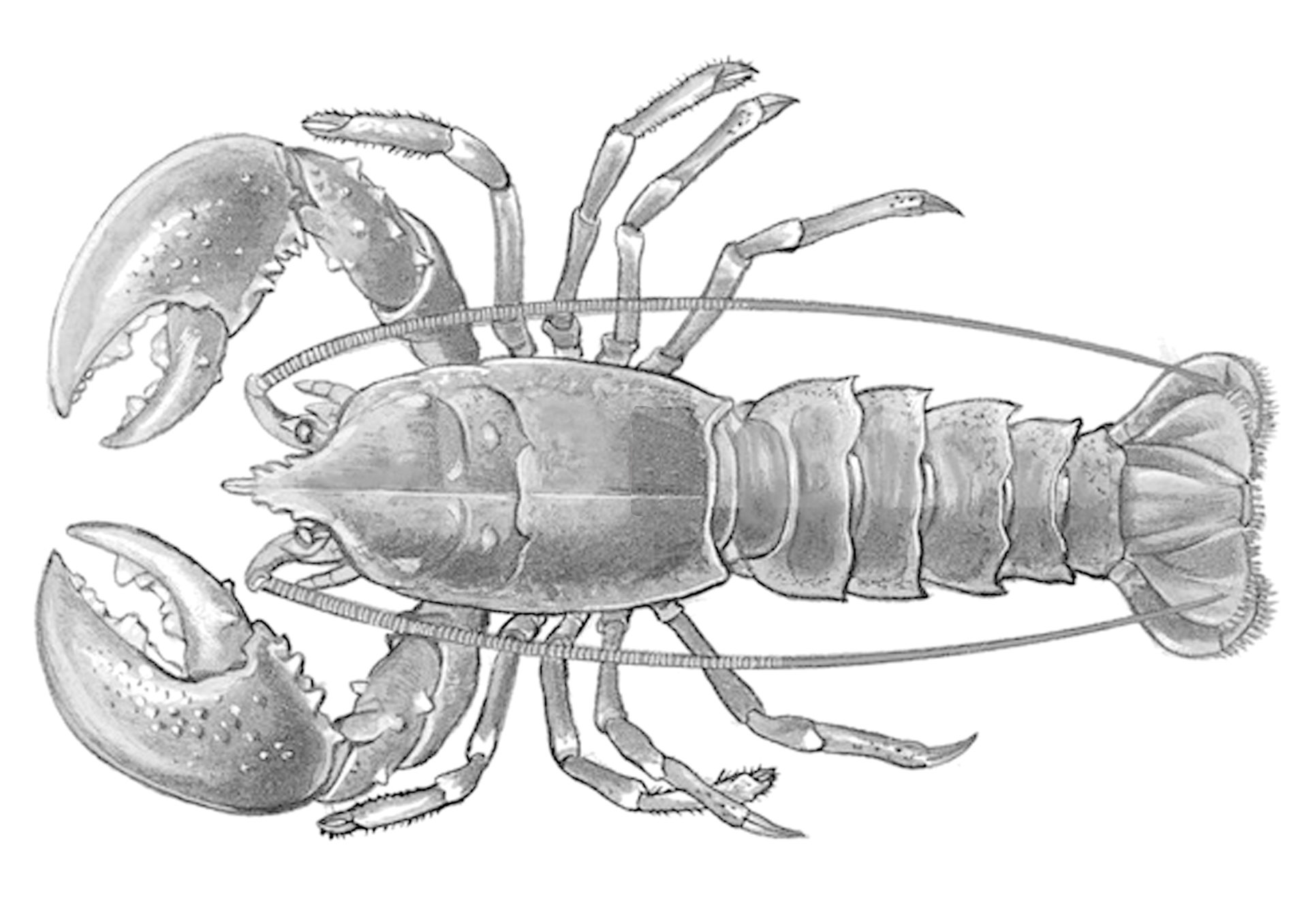 lobster sketch how to paint a watercolour lobster seasalt stories lobster sketch