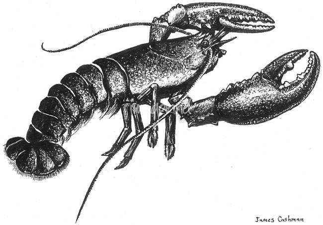 lobster sketch stunning quotlobsterquot drawings and illustrations for sale on sketch lobster