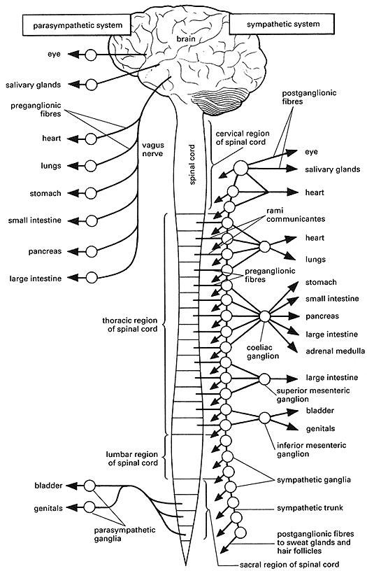 nervous system coloring page coloring pages of the human nervous system coloring pages coloring nervous page system