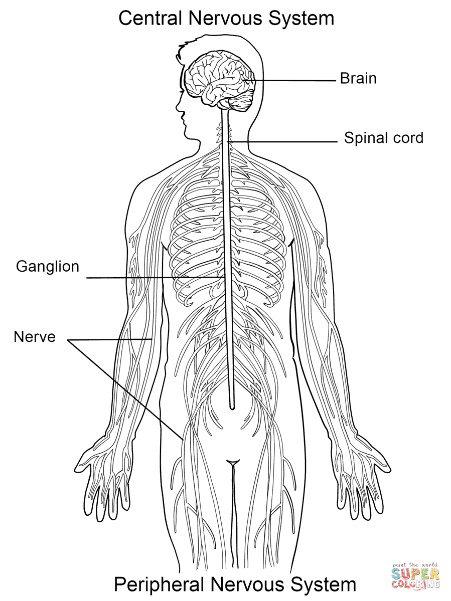 nervous system coloring page nervous system coloring page at getcoloringscom free nervous system coloring page