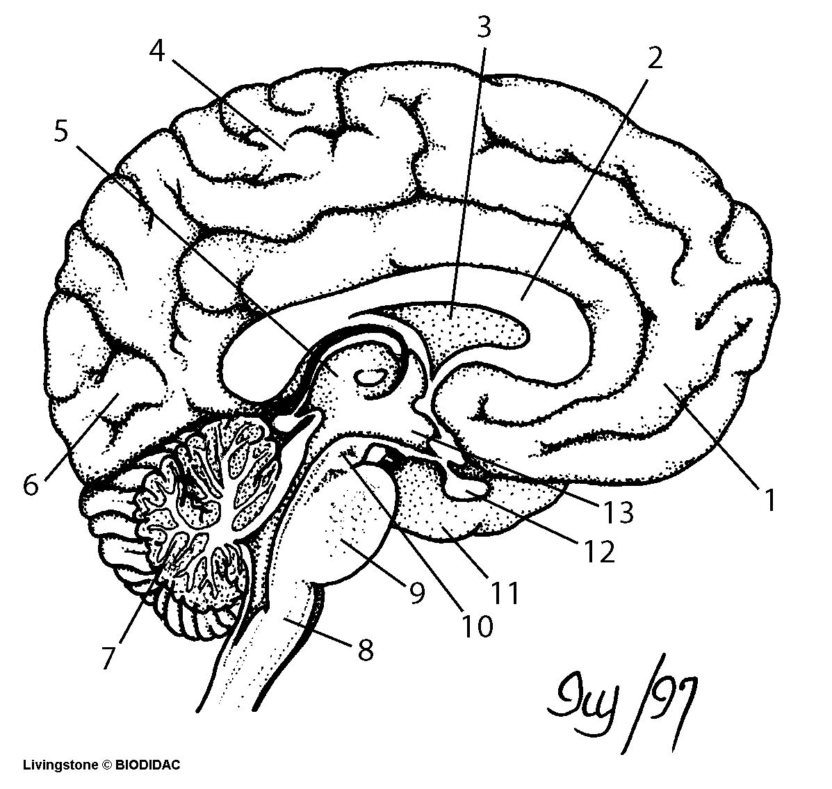 nervous system coloring page the nervous system coloring sheet coloring sheets system nervous page coloring