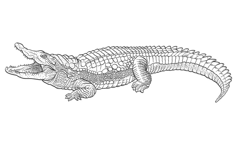 outline picture of crocodile alligator drawing outline at getdrawings free download picture outline of crocodile