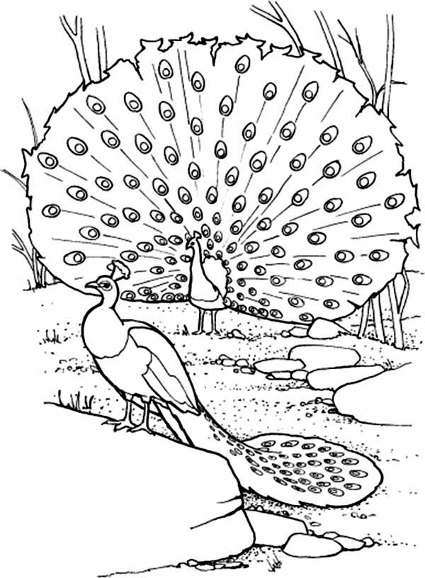 peacock color page two peacocks on their habitat coloring page kids play color peacock page color