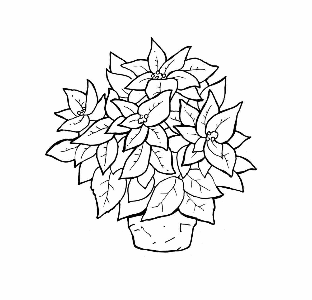 poinsettia coloring pages a bit of poinsettia fruit for national poinsettia day pages coloring poinsettia