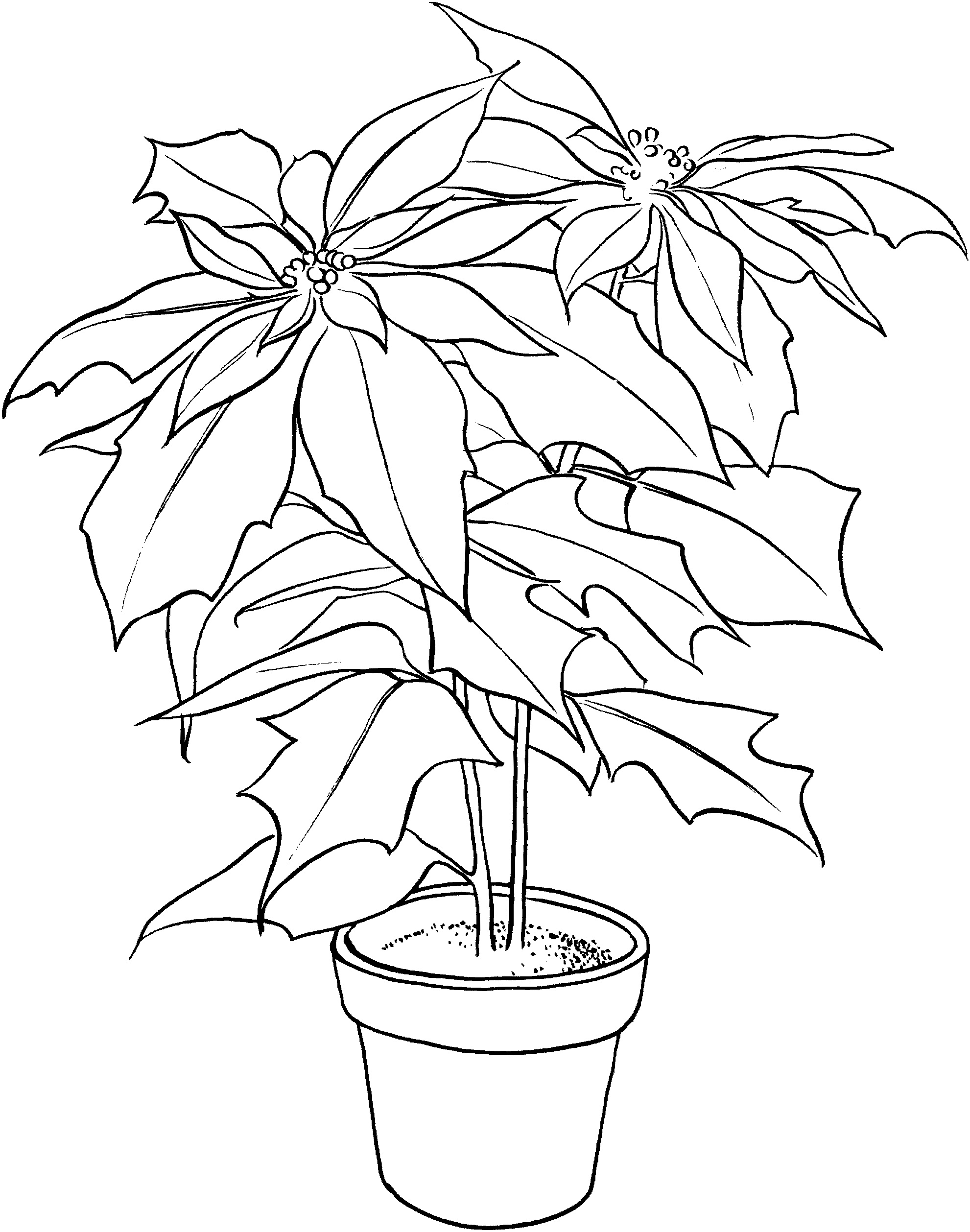 poinsettia coloring pages free printable poinsettia coloring pages for kids poinsettia pages coloring