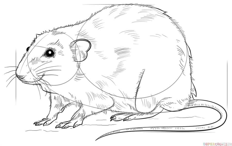 rat drawing learn how to draw a rat youtube drawing rat