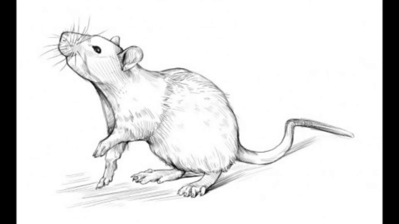 rat drawing realistic rat drawing in 4 steps with photoshop rat drawing