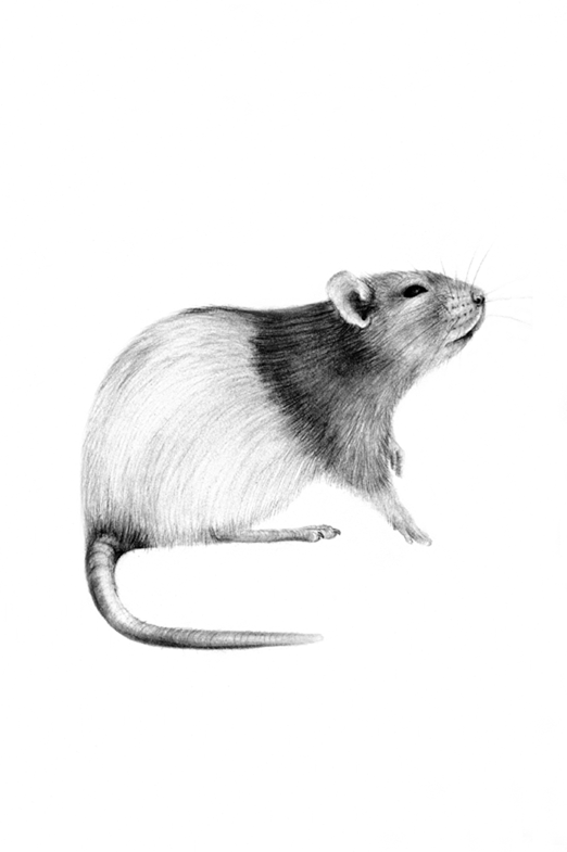 rat drawing reggie the rat drawing by judith angell meyer rat drawing