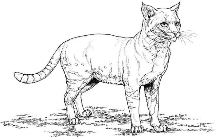 realistic house cat cat coloring pages realistic kitten coloring pages cat coloring page realistic cat coloring cat pages house