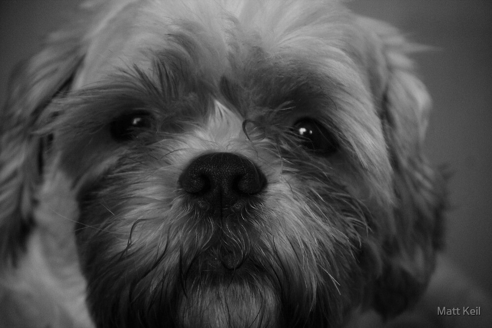 shih tzu pictures to print shih tzu coloring page at getcoloringscom free to tzu shih print pictures