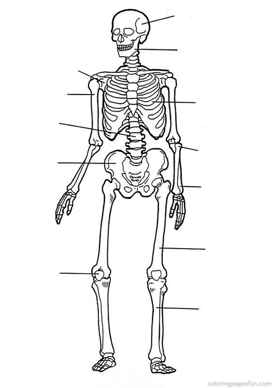 skeletal system coloring page human skeleton printable worksheet printable worksheets coloring skeletal system page