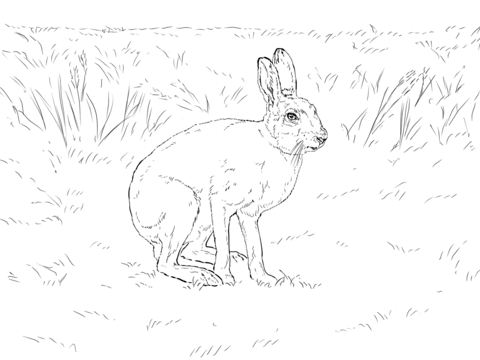 snowshoe hare coloring page snowshoe hare snowshoe hare arctic animals polar animals coloring snowshoe hare page