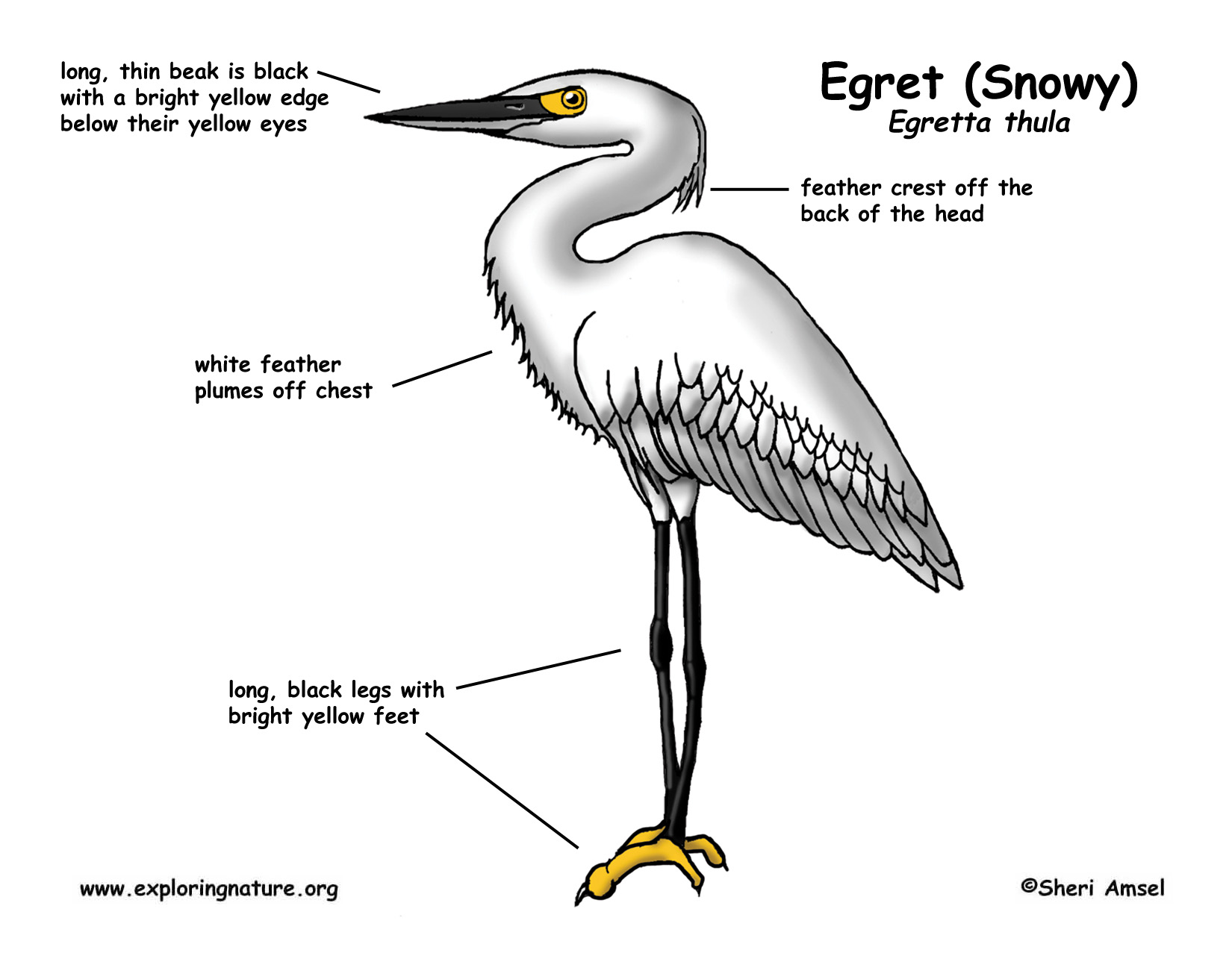 snowy egret drawing snowy egret coloring pages snowy drawing egret