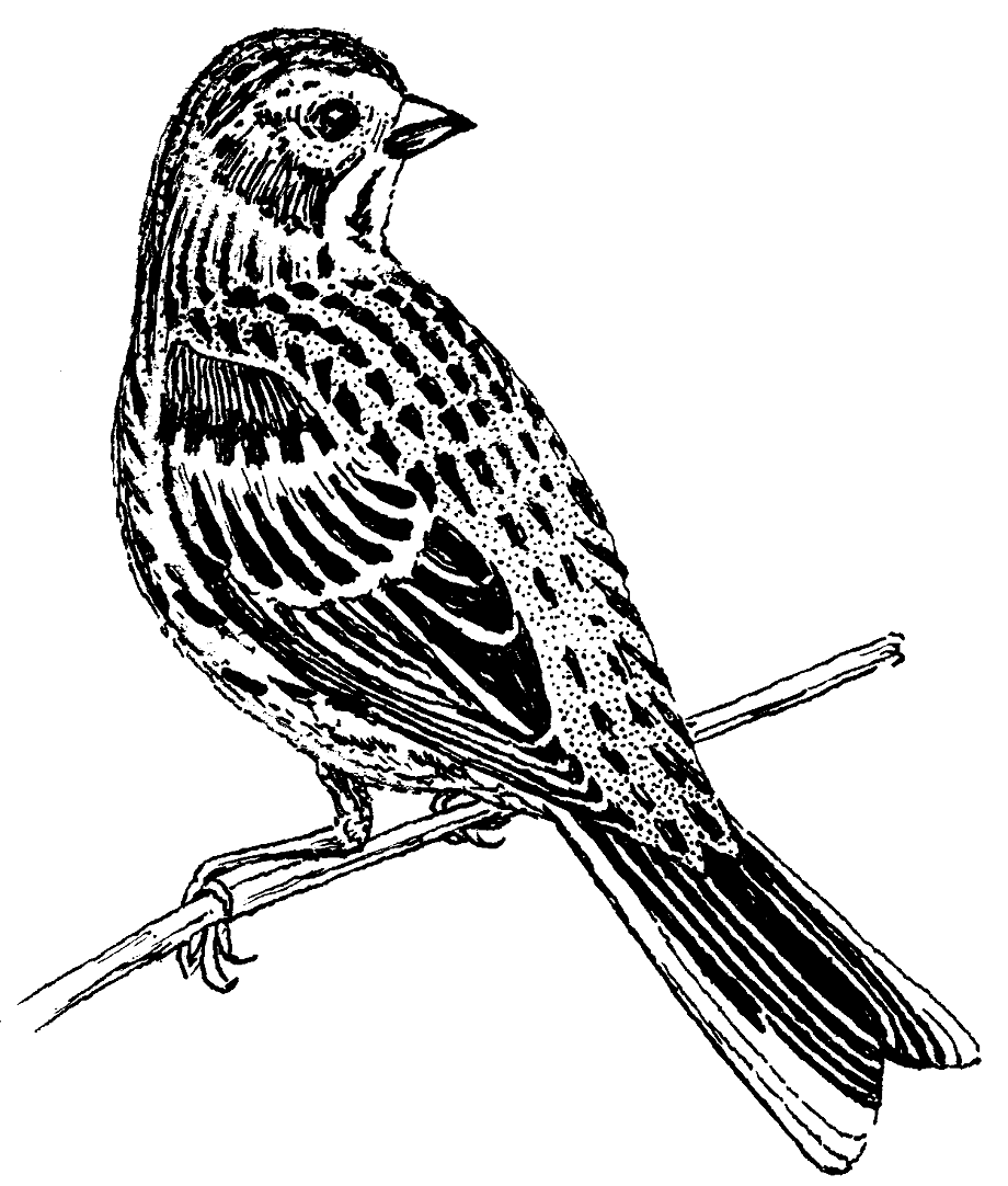 sparrow coloring pages coloring activity pages 060311 pages coloring sparrow