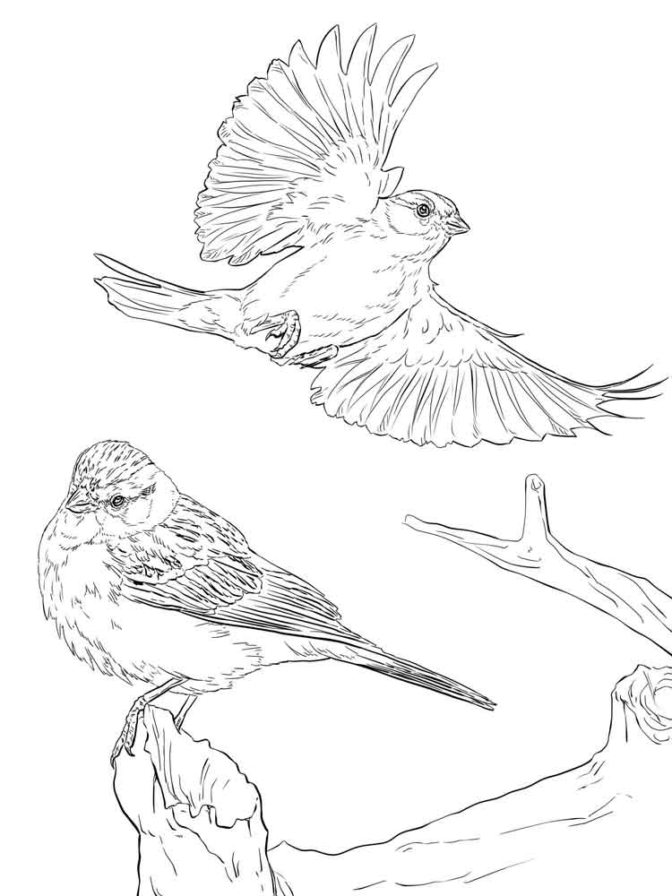 sparrow coloring pages sparrow coloring page sketch coloring page pages sparrow coloring