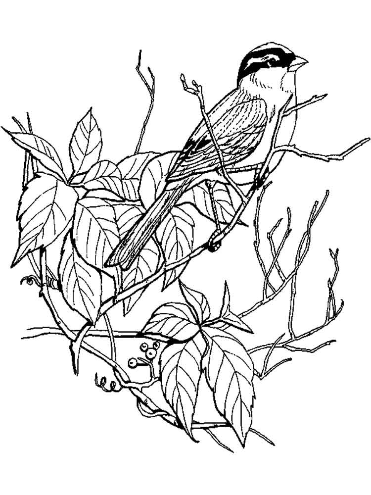 sparrow coloring pages white crowned sparrow coloring page free printable sparrow coloring pages