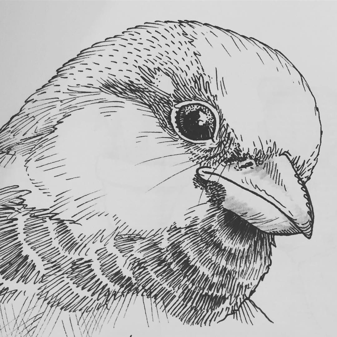 sparrow drawings 29 best sparrow images on pinterest swallows tattoo sparrow drawings