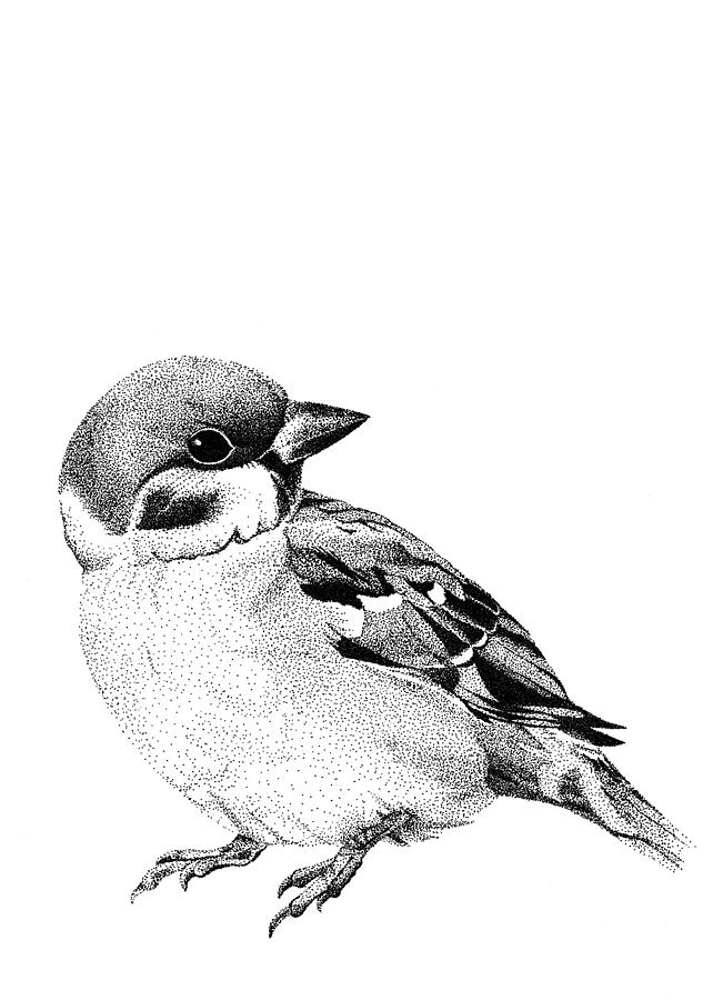 sparrow drawings a female sparrow for my daily drawing 246 its been a while sparrow drawings
