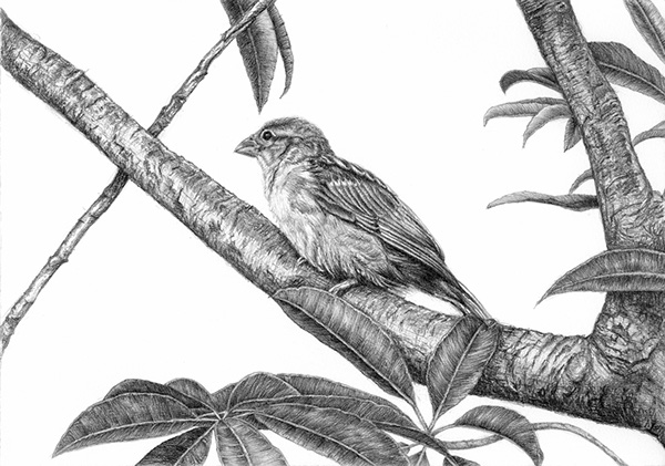 sparrow drawings a proud sparrow x post drawing wetcanvas online living sparrow drawings