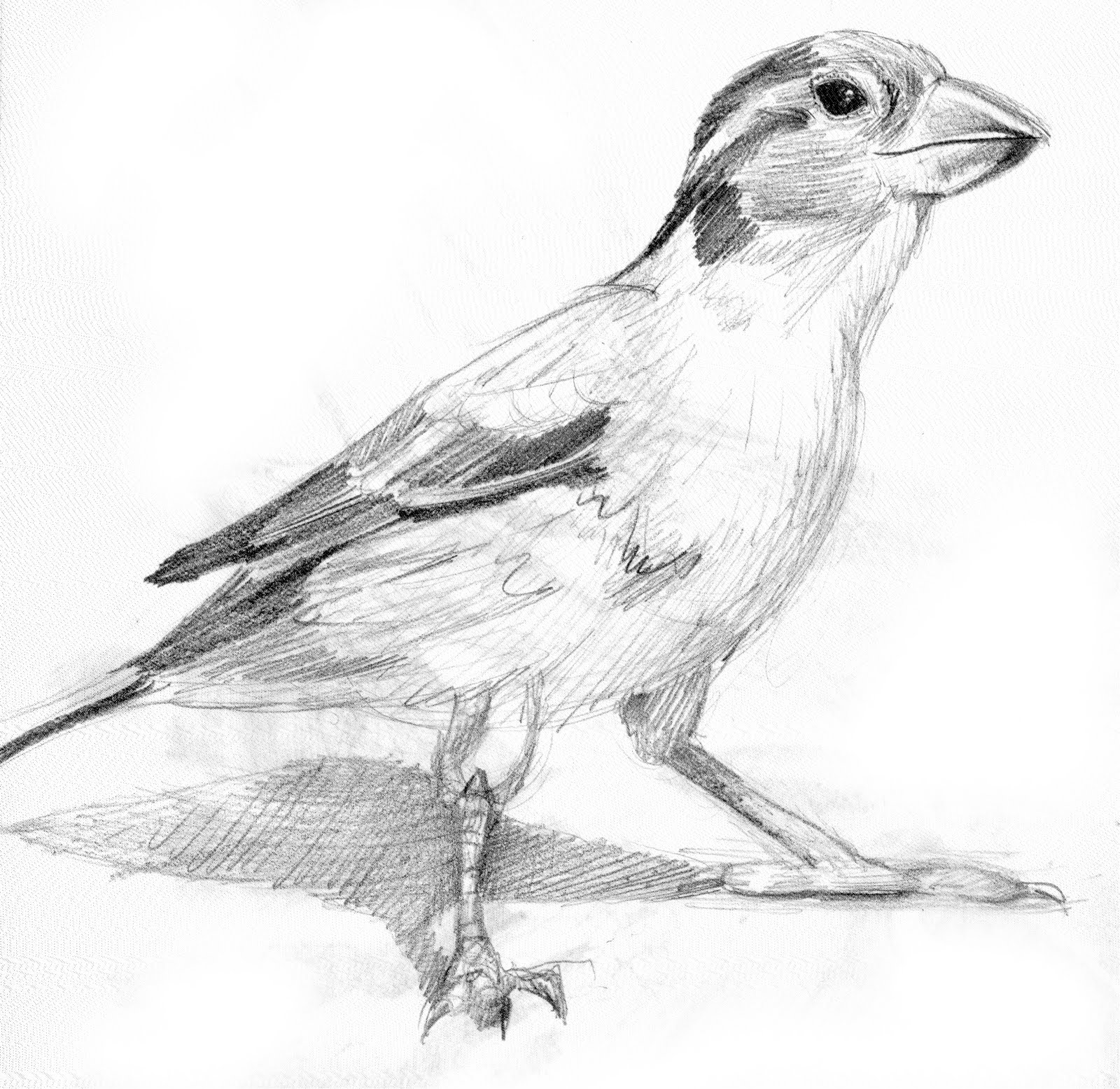 sparrow drawings flying sparrow drawing at paintingvalleycom explore sparrow drawings