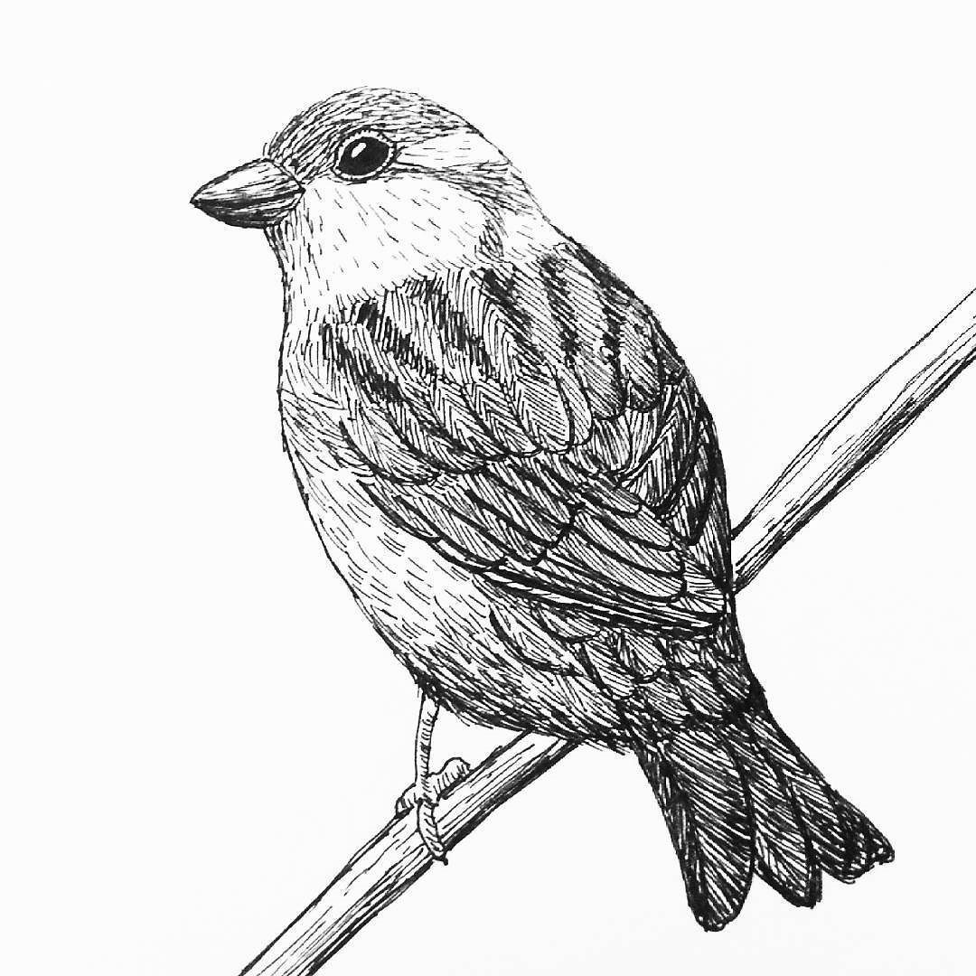 sparrow drawings google image result for httpsf1pngfuelcompng136724 drawings sparrow