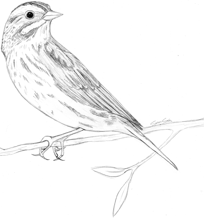 sparrow drawings how to draw sparrows step by step birds animals free sparrow drawings