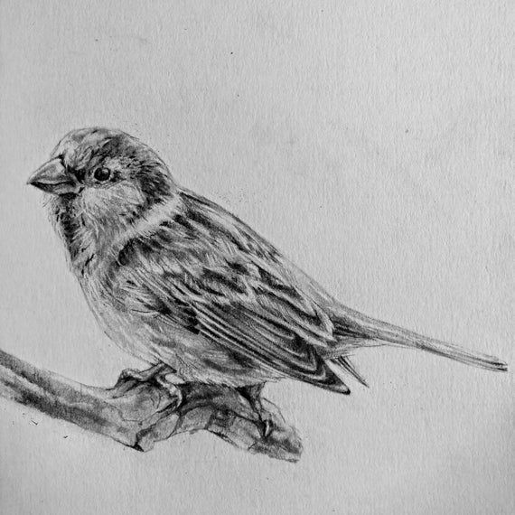 sparrow drawings sketches birds drawings sparrow