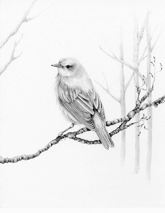 sparrow drawings song sparrow drawing by ed einboden drawings sparrow