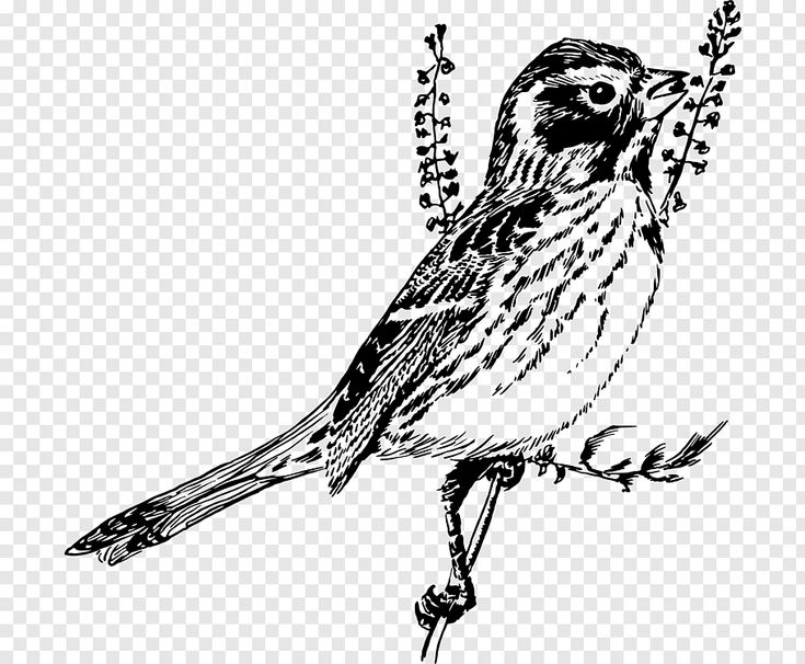 sparrow drawings sparrow by akreon on deviantart drawings sparrow