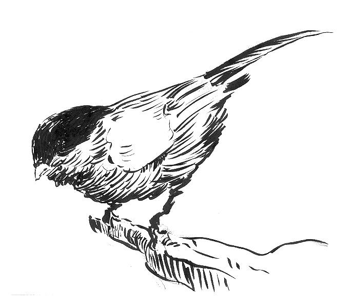 sparrow drawings sparrow drawing by jose carvalhosa drawings sparrow