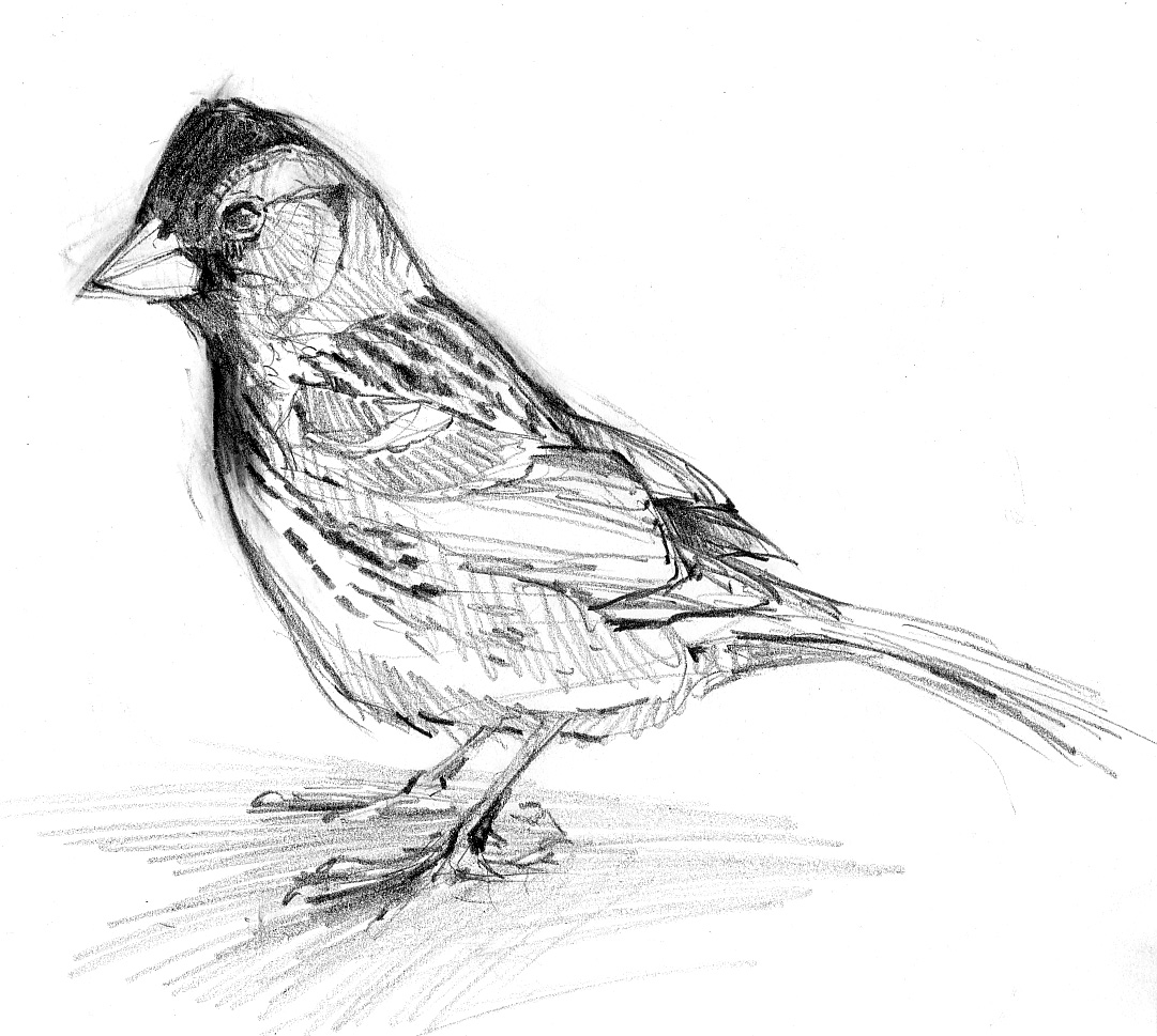 sparrow drawings vintage sparrow drawing free download on clipartmag drawings sparrow