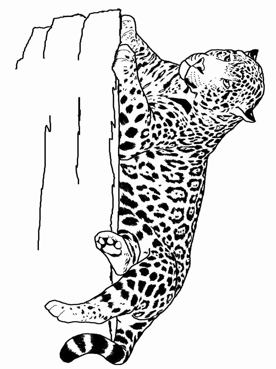 tiger pictures to print free tiger coloring pages to tiger print pictures