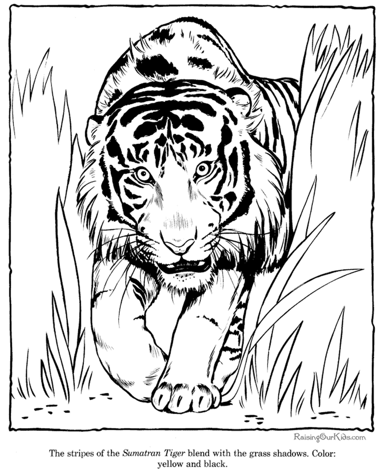 tiger pictures to print tigers coloring pages download and print tigers coloring pictures tiger to print