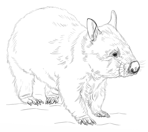 wombat drawing outline 15 best wombat stew images on pinterest wombat stew wombat outline drawing
