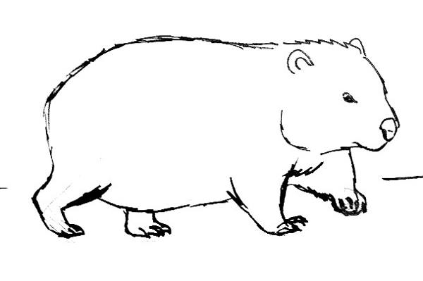 wombat drawing outline outline of a wombat clipart best wombat drawing outline