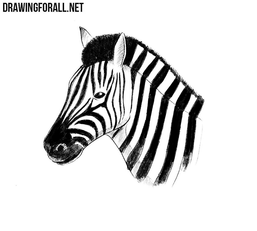 zebra drawing baby zebra drawing free images at clkercom vector drawing zebra