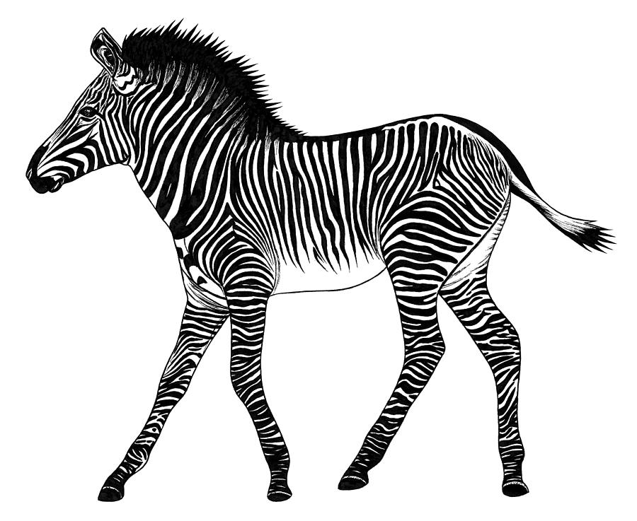 zebra drawing how to draw a zebra with pictures wikihow zebra drawing