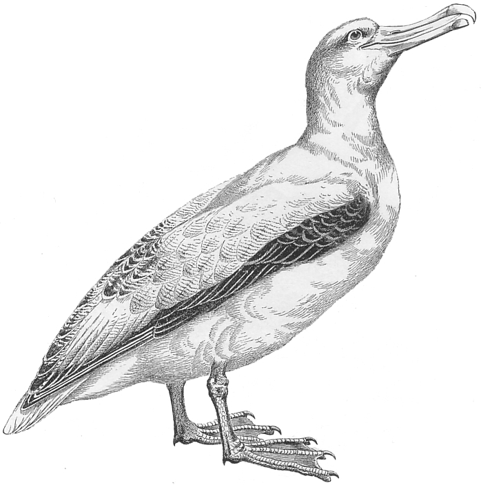 albatross drawing old writer on the block about the albatross drawing albatross