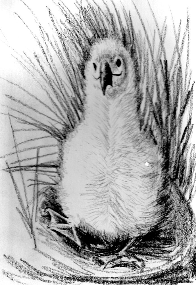 albatross drawing quot39 wobbly 39 drawing of a young albatrossquot by mbrig drawing albatross