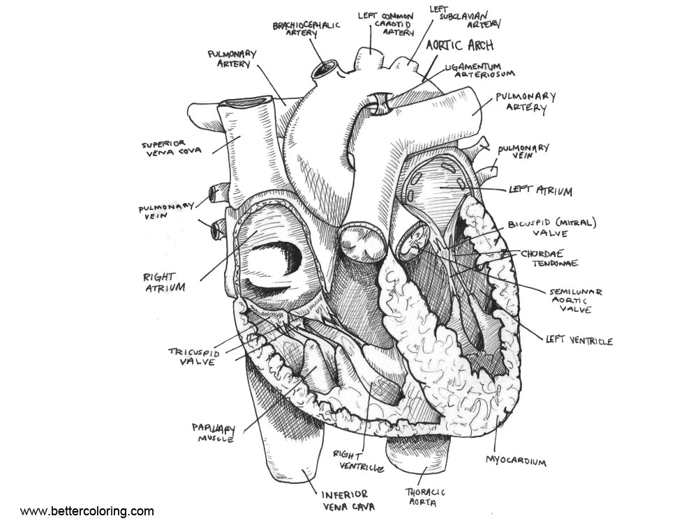 anatomical heart coloring pages anatomical heart line drawing at getdrawings free download heart coloring pages anatomical