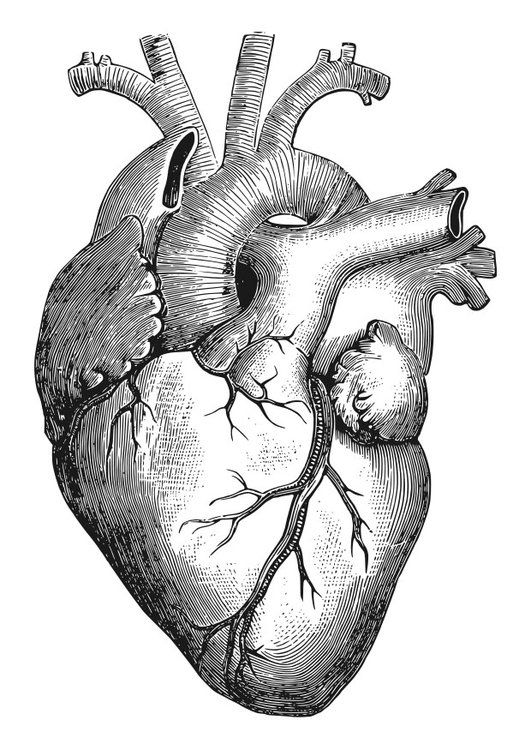 anatomical heart coloring pages anatomical heart pictures clipartsco pages coloring anatomical heart