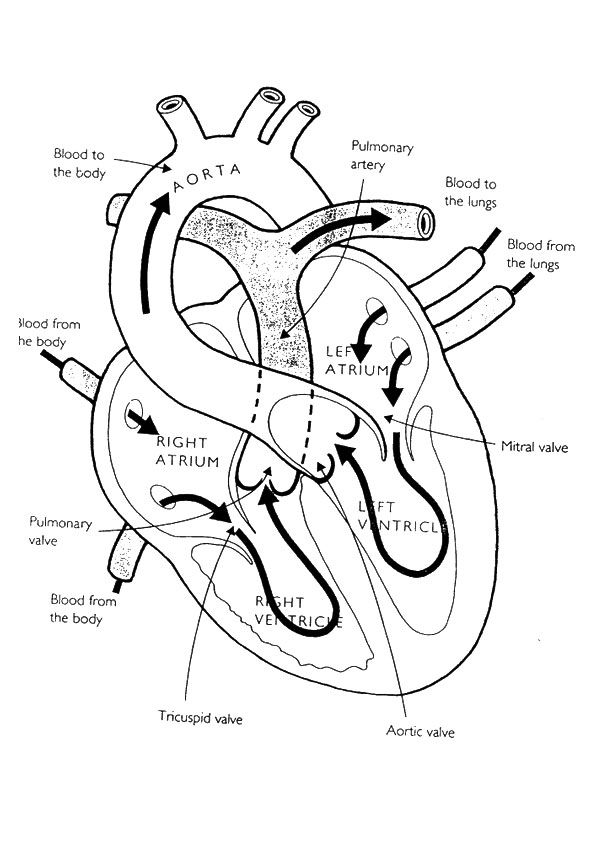 anatomical heart coloring pages anatomy and physiology free coloring pages coloring home coloring heart pages anatomical