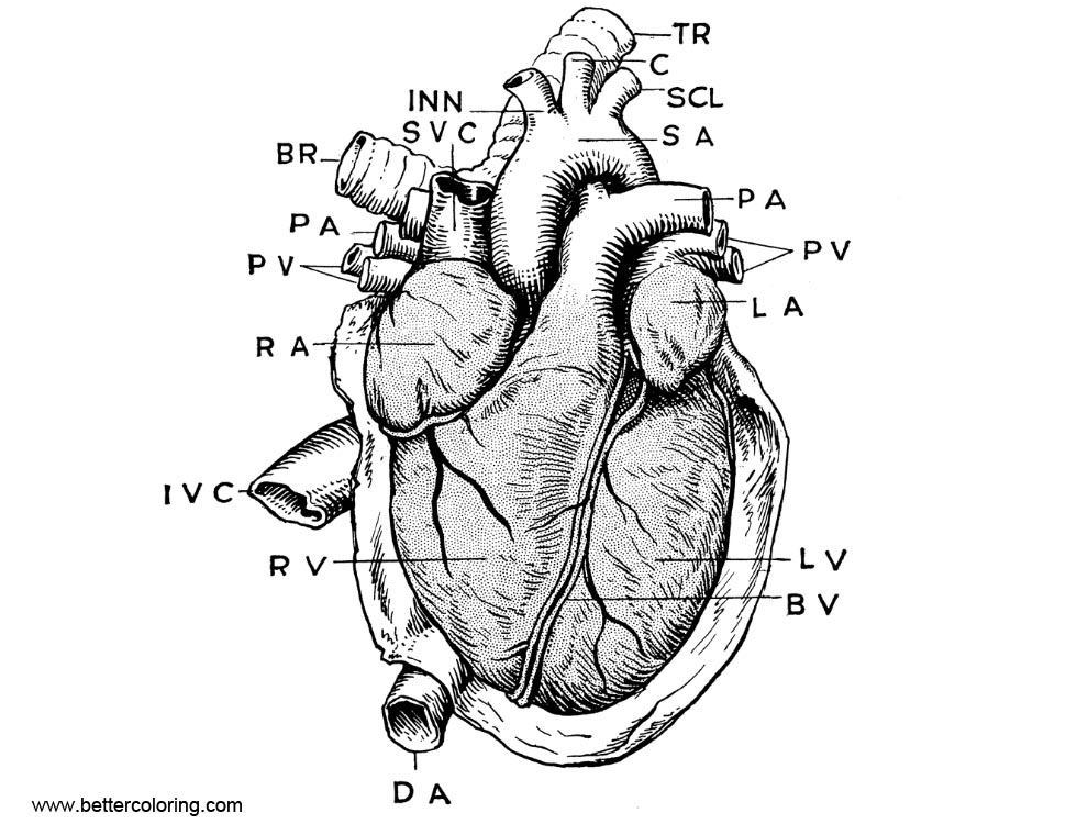 anatomical heart coloring pages anatomy coloring pages heart coloring home pages coloring anatomical heart