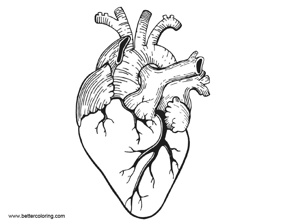 anatomical heart coloring pages anatomy coloring pages of human heart free printable coloring heart anatomical pages