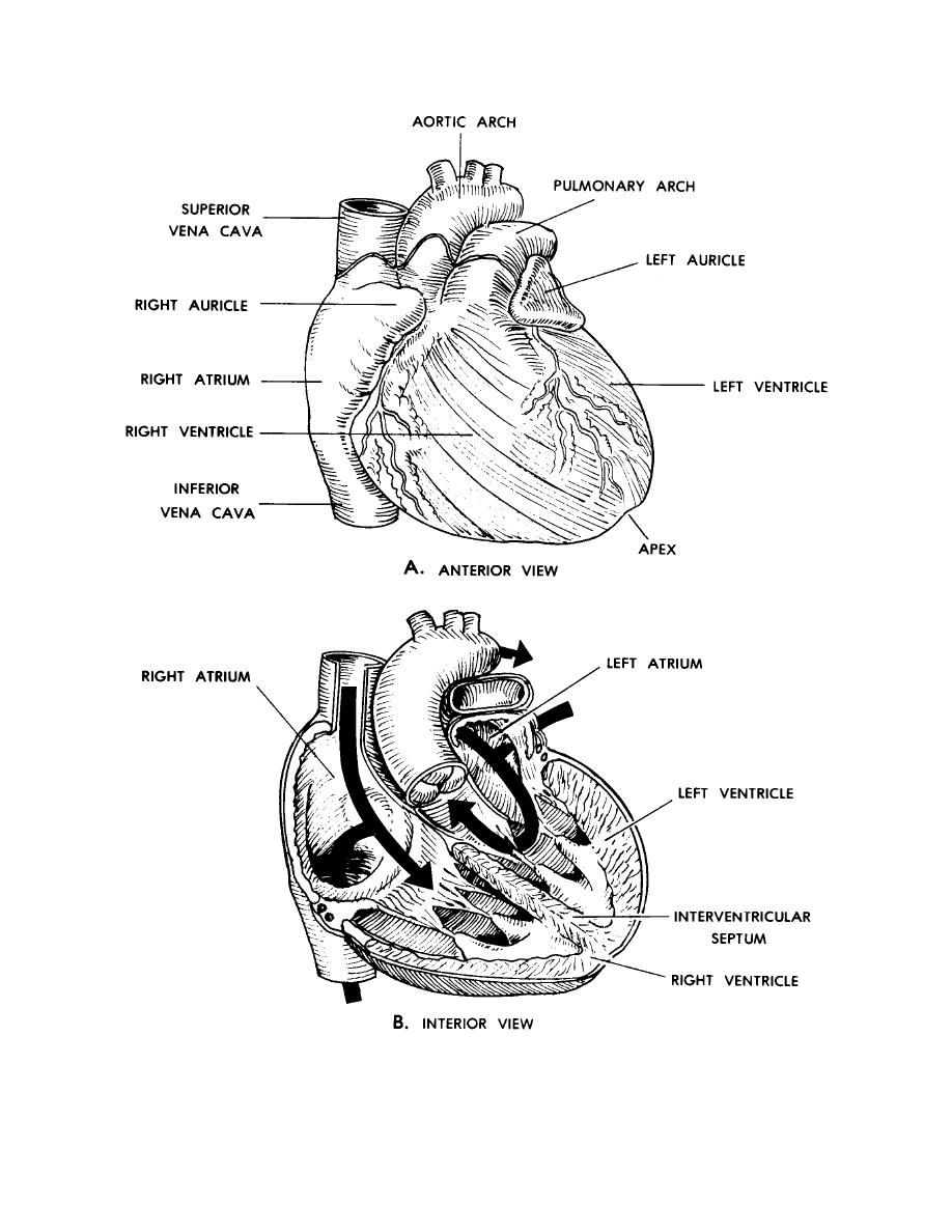 anatomical heart coloring pages free anatomy and physiology coloring pages coloring home anatomical heart pages coloring