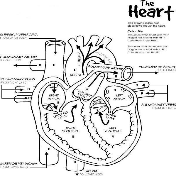 anatomical heart coloring pages free heart worksheets heart anatomy pages coloring anatomical heart