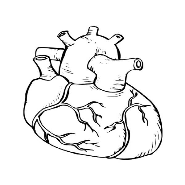 anatomical heart coloring pages human heart anatomy coloring pages free printable heart coloring anatomical pages