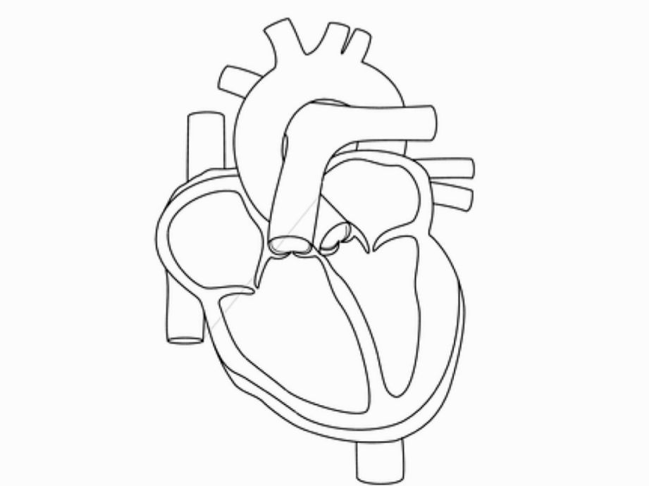 anatomical heart coloring pages human heart coloring pages human heart coloring page human coloring anatomical heart pages