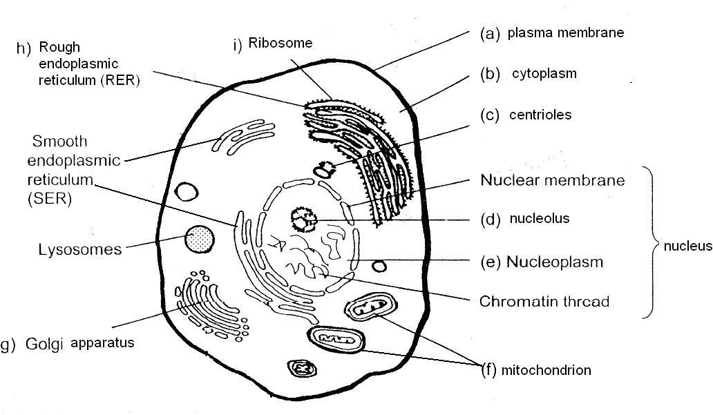 animal cell diagram coloring animal cell coloring pdf answer key in 2020 animal cells animal cell coloring diagram